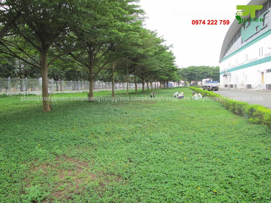 Bàng Đài Loan được trồng phổ biến tại khu công nghiệp, khu dân cư, trường học,...