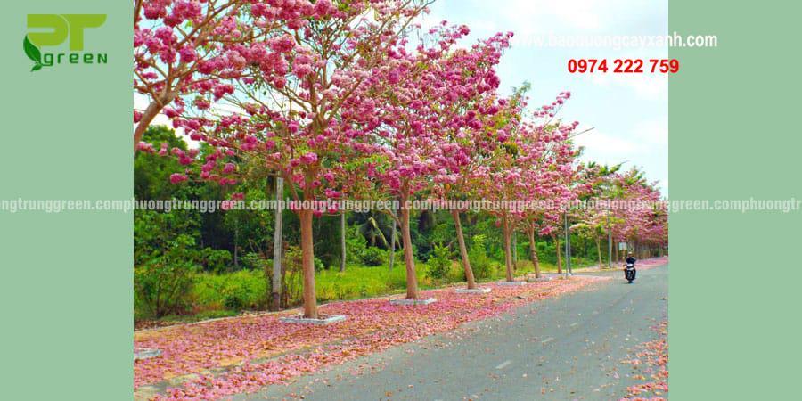 Cây xanh công trình kèn hồng giá rẻ