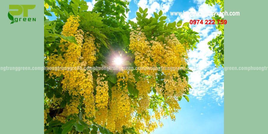 Cây xanh công trìnhmuồng hoa vàng giá rẻ