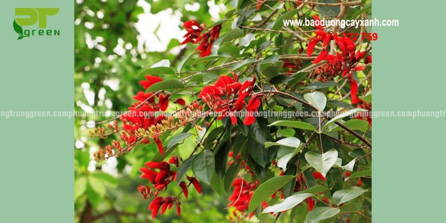Cây xanh công trình cây osaka đỏ giá rẻ