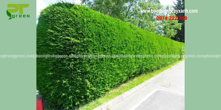 Cây xanh công trình tường gừa giá rẻ