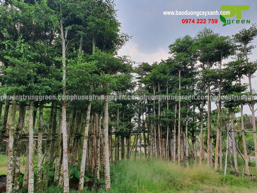 Hình ảnh thực tế của bàng Đài Loan tại vườn